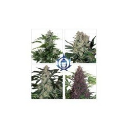 Assorted Auto Feminized (Buddha Seeds)