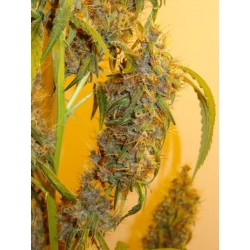 Blackberry Haze bx1 Regularne (Naw Seeds)