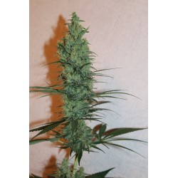 G-39 Regularne (Naw Seeds)