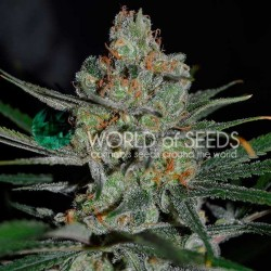 AFGHAN KUSH EARLY HARVEST Feminizowane ( Word Of Seeds)