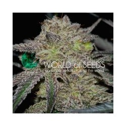TONIC RYDER Feminized ( Word of Seeds)