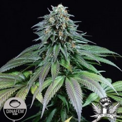 Purple Moby Dick Feminized (DINAFEM)