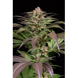 Purps1Feminized (DINAFEM)