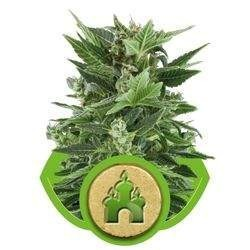 Royal Kush Automatic Feminizowane (Royal Queen Seeds)
