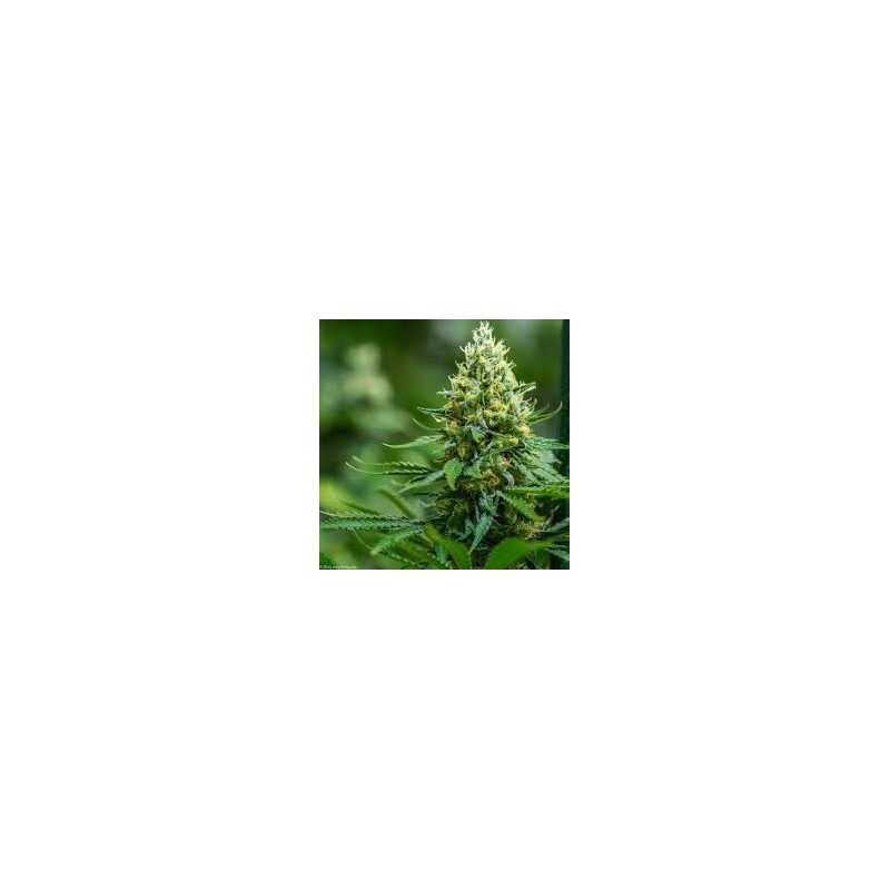 Green Avenger Regularne  (Brothers Grimm Seeds)