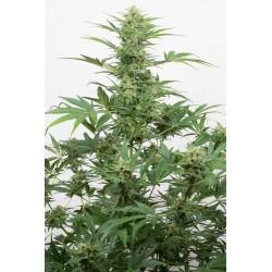 Industrial Plant Autoflowering CBD Feminizowane (Dinafem)