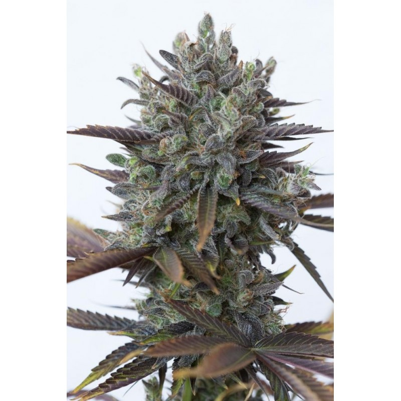 Purple Orange CBD Feminizowane  (Dinafem)