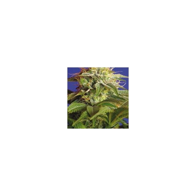 Green Poison Feminized (Sweet Seeds)