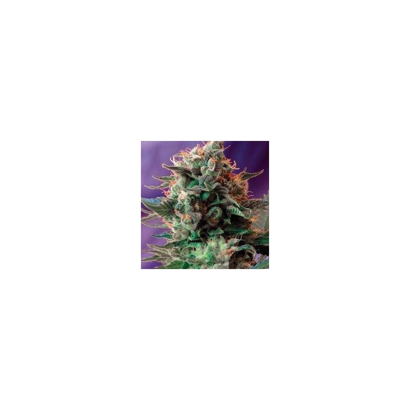 Jack 47 Fast Version Feminized (Sweet Seeds)