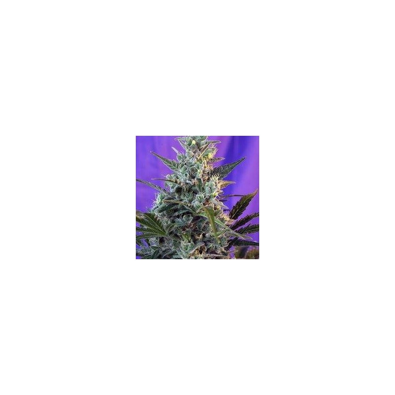 Sweet Skunk Fast Version Feminized (Sweet Seeds)