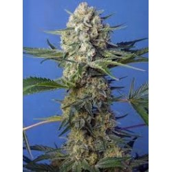 Crystal Candy F1 Fast Version Feminizowane (Sweet Seeds)