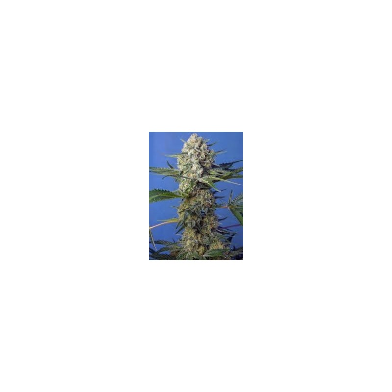 Crystal Candy F1 Fast Version Feminized (Sweet Seeds)