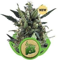 Blue Cheese Auto Feminizowane (Royal Queen Seeds)