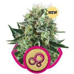 Bubble Kush Feminizowane (Royal Queen Seeds)