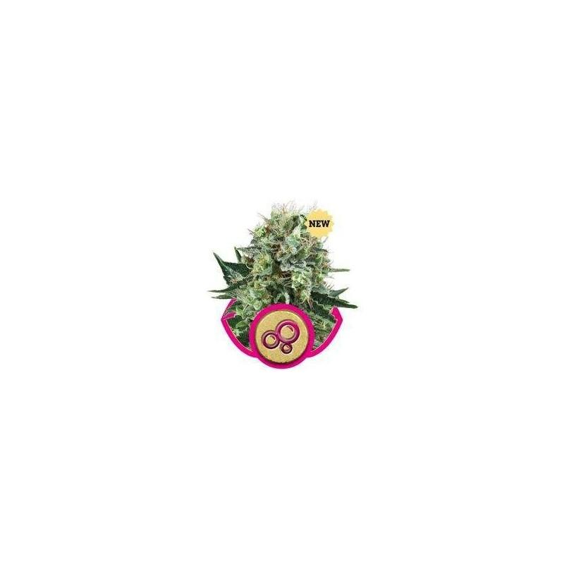 Bubble Kush Feminizowane (Royal Queen Seeds)