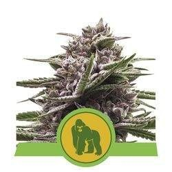 Royal Gorilla Automatic Feminizowane (Royal Queen Seeds)