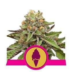 Green Gelato Feminizowane (Royal Queen Seeds)