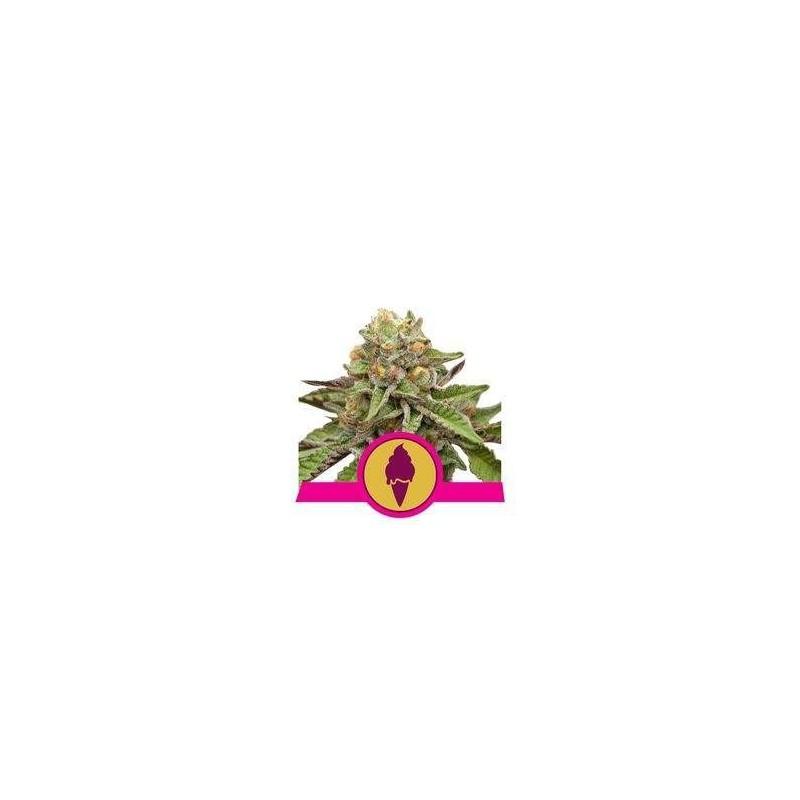 Green Gelato Feminizowane (Royal Queen Seeds)