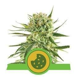 Royal Cookies AUTO Feminizowane (Royal Queen Seeds)