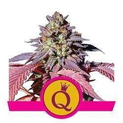 Purple Queen Feminized (Royal Queen Seeds)