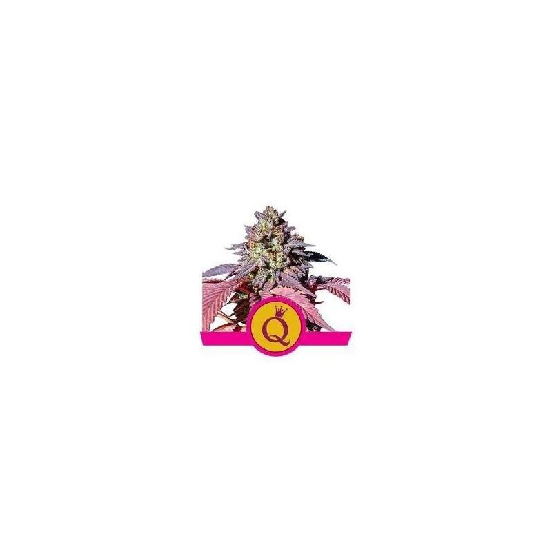 Purple Queen Feminized (Royal Queen Seeds)