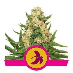 Fat Banana Feminizowane (Royal Queen Seeds)