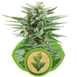 Easy Buds AUTO Feminizowane (Royal Queen Seeds)
