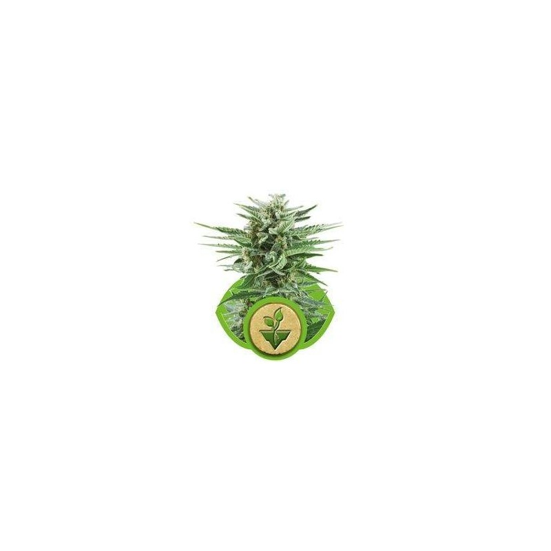 Easy Buds AUTO Feminized (Royal Queen Seeds)