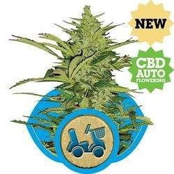 Fast Eddy CBD Auto Feminizowane (Royal Queen Seeds)