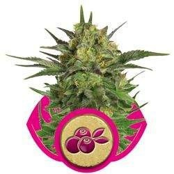 Haze Berry Feminized (Royal Queen Seeds)