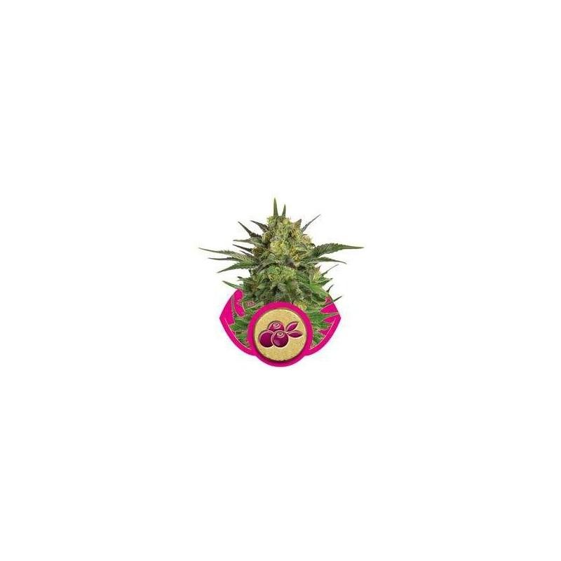 Haze Berry Feminized (Royal Queen Seeds)