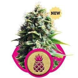 Pineapple Kush Feminizowane (Royal Queen Seeds)