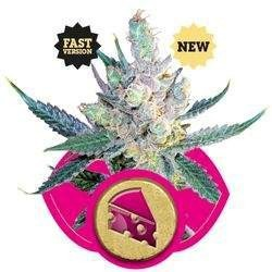 Royal Cheese Fast Version Feminized (Royal Queen Seeds)