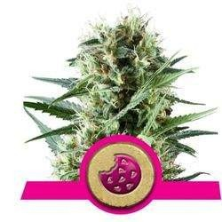 Royal Cookies Feminizowane (Royal Queen Seeds)