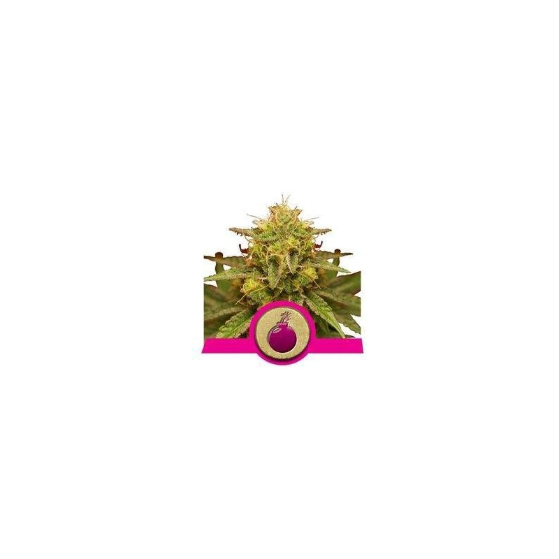 Royal Domina Feminized (Royal Queen Seeds)