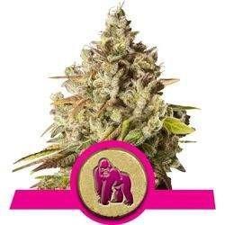 Royal Gorilla Feminized (Royal Queen Seeds)