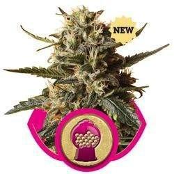 BubbleGum XL Feminized (Royal Queen Seeds)