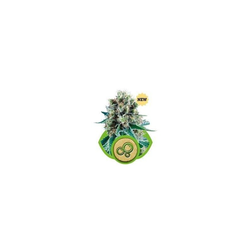 Bubble Kush AUTO Feminizowane (Royal Queen Seeds)