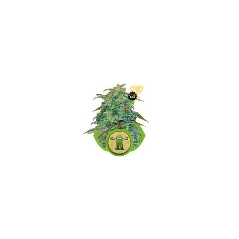 Royal Haze AUTO Feminized  (Royal Queen Seeds)