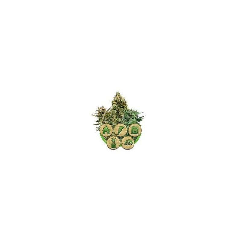 Autoflowering Mix Feminizowane (Royal Queen Seeds)
