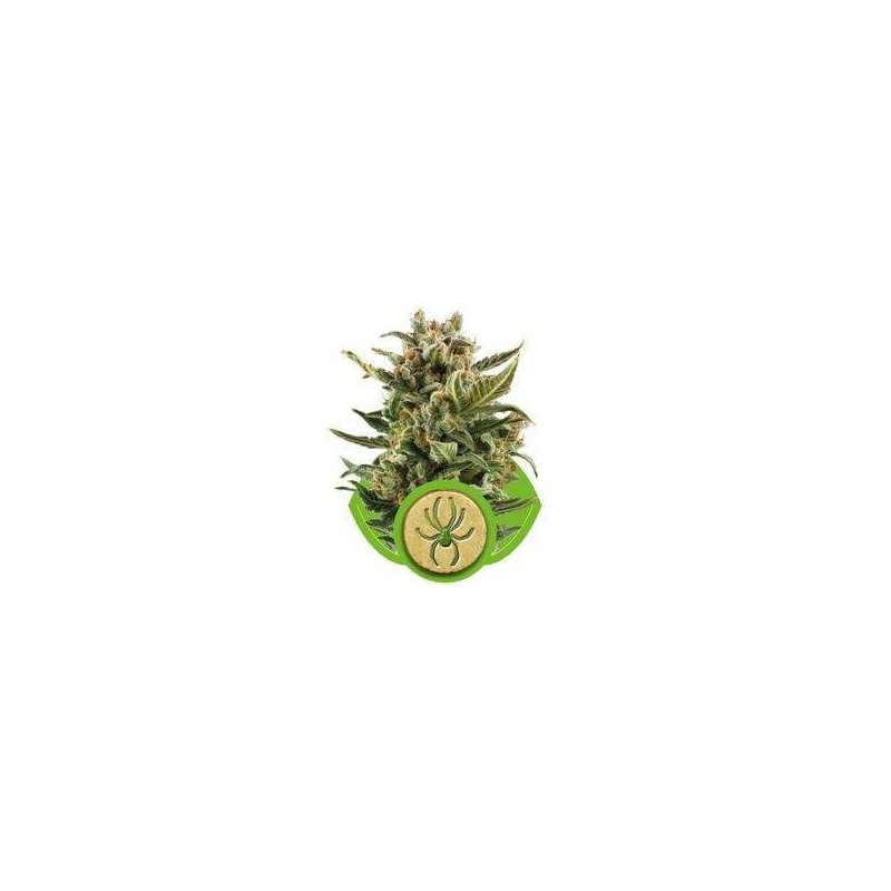 White Widow AUTO Feminized (Royal Queen Seeds)
