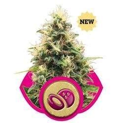 Somango XL Feminized (Royal Queen Seeds)