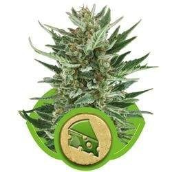 Royal Cheese AUTO Feminized (Royal Queen Seeds)