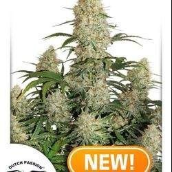 Auto Critical Orange Punch Feminized ( Dutch Passion)
