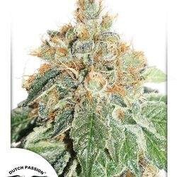 AutoColorado Cookies Feminized (Dutch Passion)