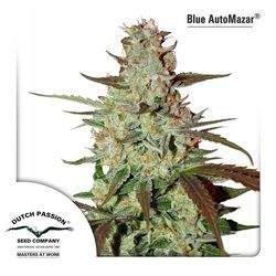 Blue AutoMazar Feminized (Dutch Passion)