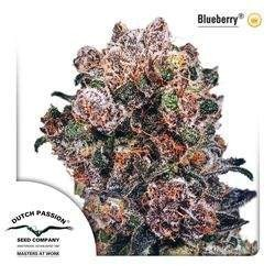 Blueberry Feminized (Duch Passion)