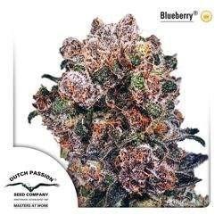 Blueberry Feminizowane (Duch Passion)