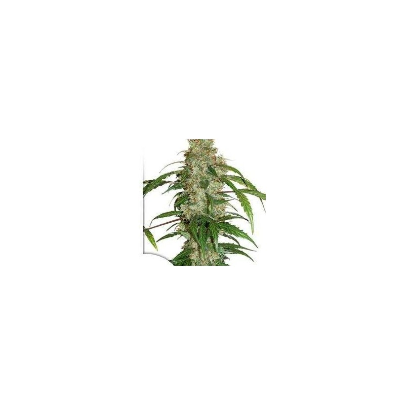 CBD Auto White Widow Feminized (Dutch Passion)