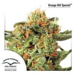Orange Hill Special Feminizowane (Dutch Passion)